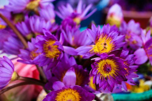 waterlily flower sri lanka