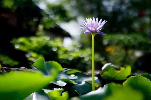 waterlily flower purple
