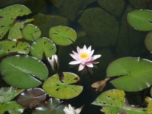 waterlily lake flowers