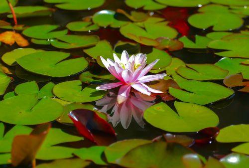 waterlily flower lake