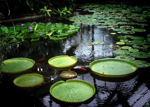 waterlily  lake  water-plant
