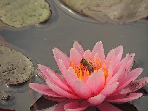 waterlily  flower  bee