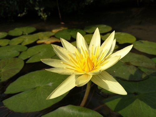 waterlily  lotus  plant