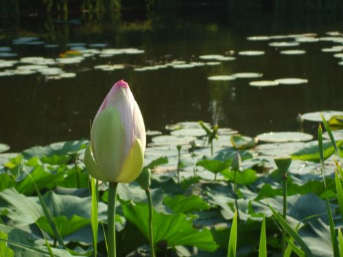 waterlily bud waterlily bud