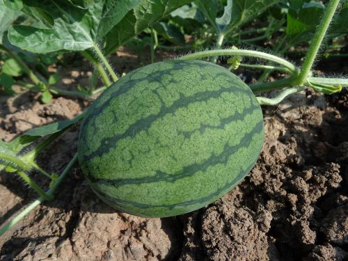watermelon hybrid watermelon seed fruit