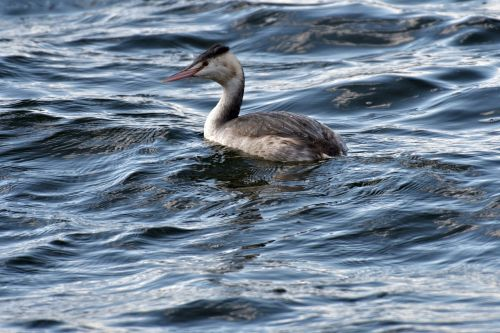 waters pond bird