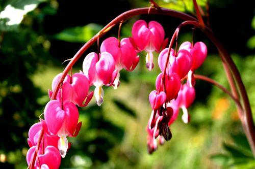 watery heart lamprocapnos spectabilis two tone heart flower