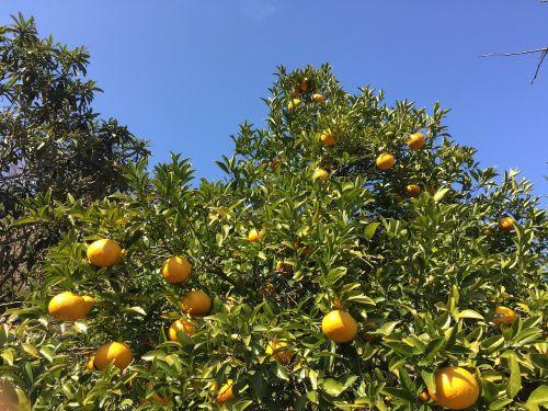 watson pomelo mandarin oranges tree of oranges
