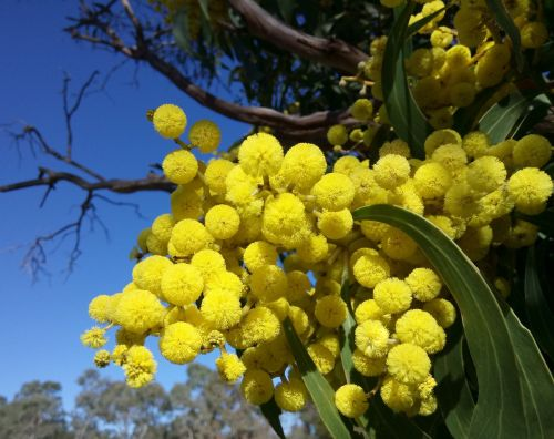 wattle blossoms springtime blue sky
