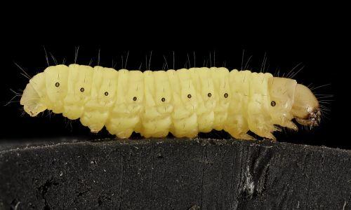 wax worm macro parasite