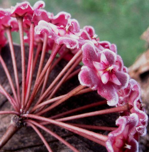 waxplant hoya pink