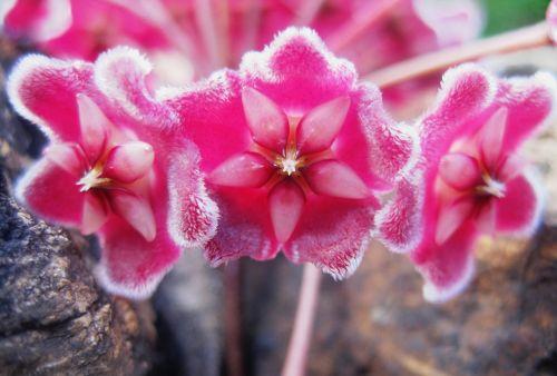 Waxplant Florets