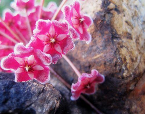 Waxplant Flower