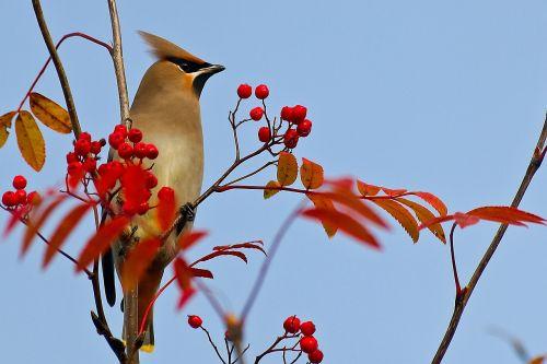 waxwing bird rowan