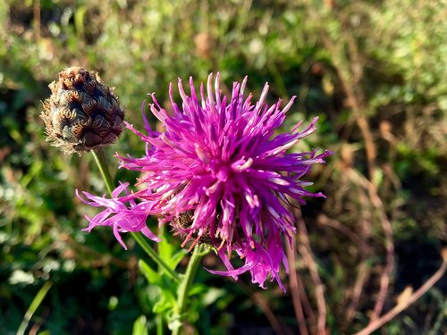 wayside plant  thistle head  flora