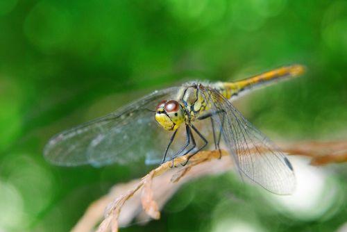 ważka insect macro