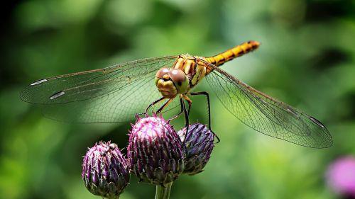 ważka insect compound eyes
