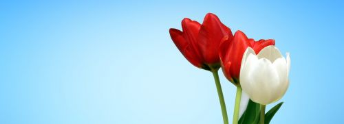 web banner tulip