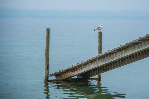 web dove gull