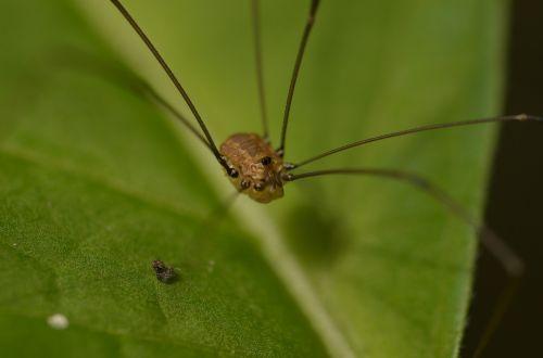 weber servant spider arachnid