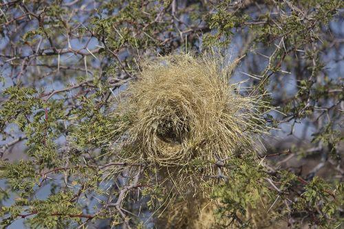 webervogel namibia kalahari desert