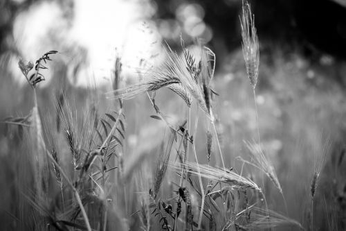 weeds black and white meadow