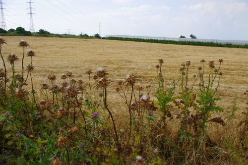 Weeds And Field