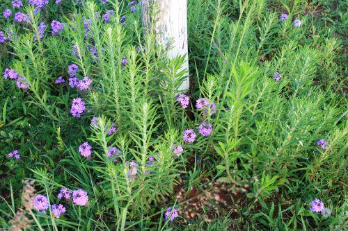 Weeds With Purple Verbena