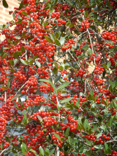 weeping holly weeping holly berries