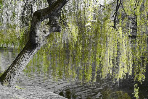 weeping willow nature green