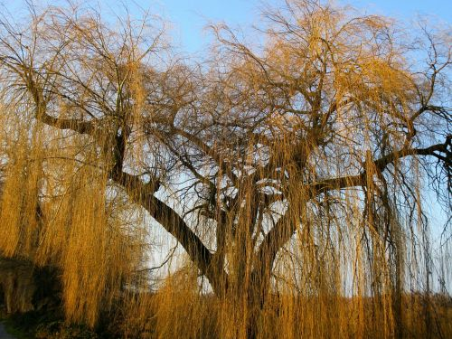 weeping willow pasture tree