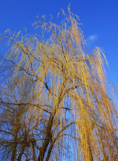 weeping willow willow tree