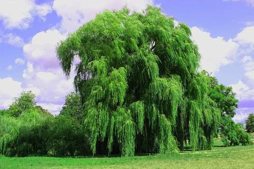 weeping willow  tree  pasture