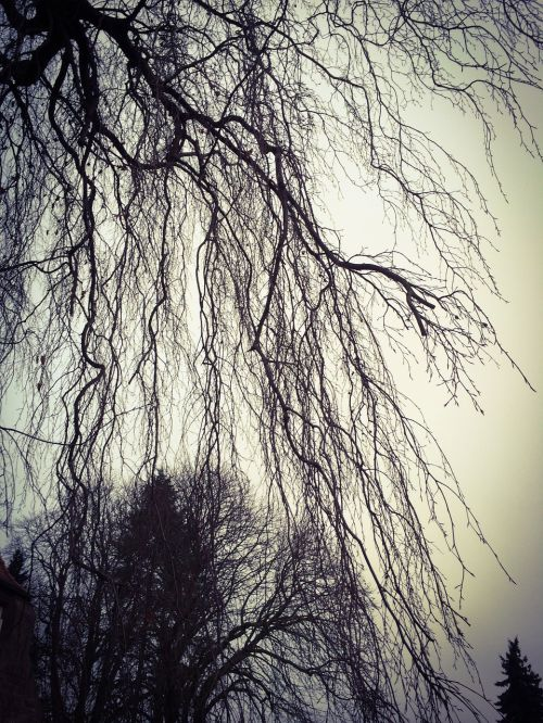 weeping willow kahl tree