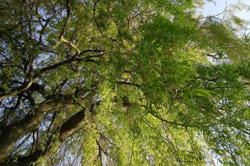 weeping willow pasture baumm