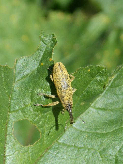 weevil weevil beetle lixus angustatus