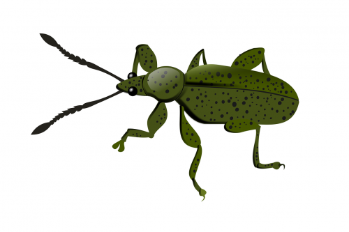 weevil,animal,insect,nature,fauna,plague,free illustrations