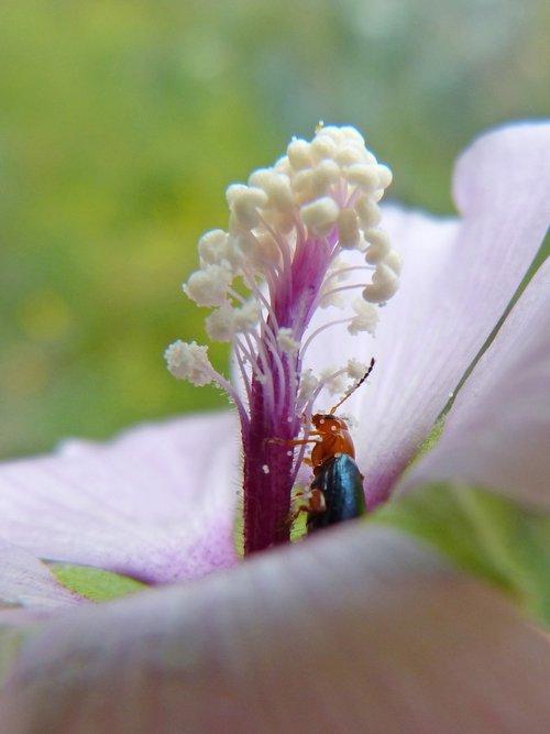 weevil  beetle  pollen