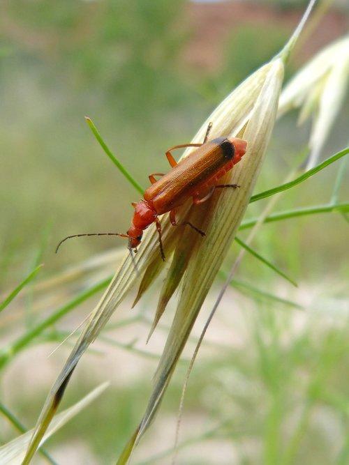 weevil  orange beetle  coleoptera