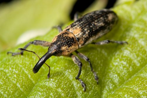 weevil bug insect
