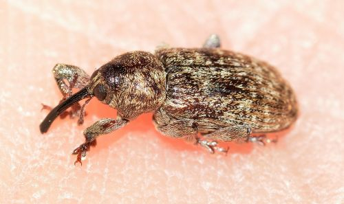 weevil beetles insects