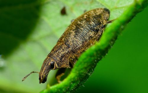 weevil insects beetle