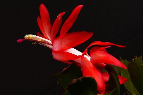 weihnachtskaktus,rudens kaktusas,Schlumbergera,kaktusas,žiedas,žydėti,raudona,augalas,kaktusas šiltnamius,paskatinti