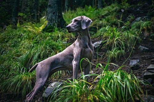 Weimaraner,šuo,naminis gyvūnėlis,didingas,pilka,pilka,veislė,grynakraujis,kilmės,miškas,miškai,kraštovaizdis,medžiai,kaimas,Šalis,hdr,gyvūnas