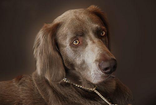 weimaraner dog hunting dog