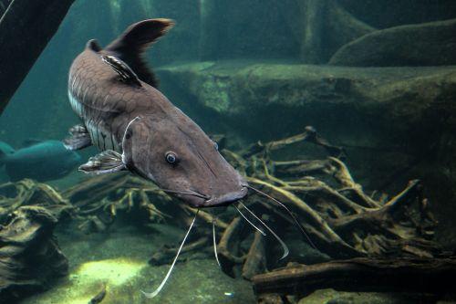 wels fish predatory fish