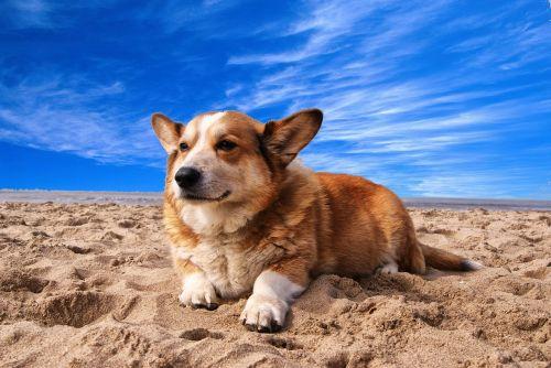 welsh corgi dog pet