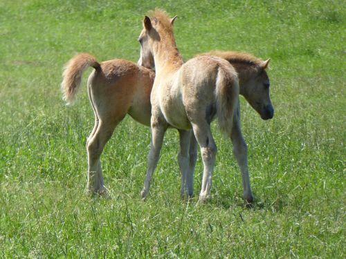 welsh ponies friends sweet