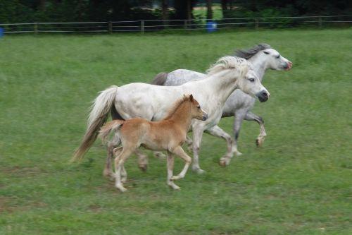 welsh ponies family herd