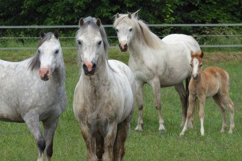 welsh ponies horses foal